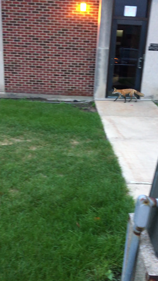 "PNW's fox, named ""Red"" by campus police, strolls around the Hammond campus near the police station."
